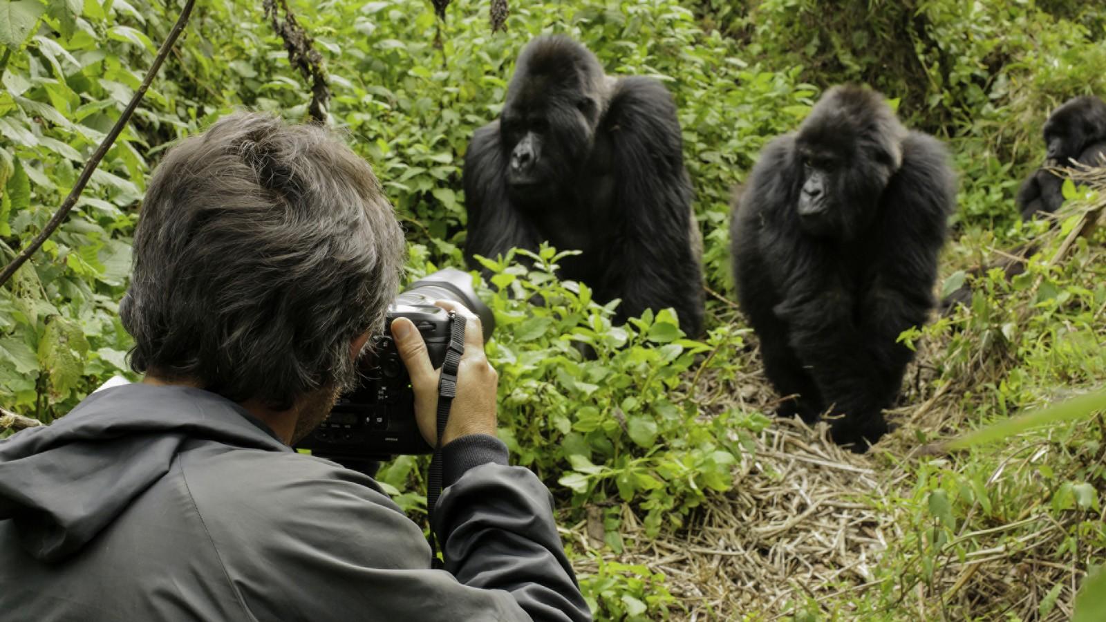 Photographer taking photos of Silverback Mountain Gorilla (Gorilla gorilla beringei), Parc National des Volcans, Rwanda, Africa
