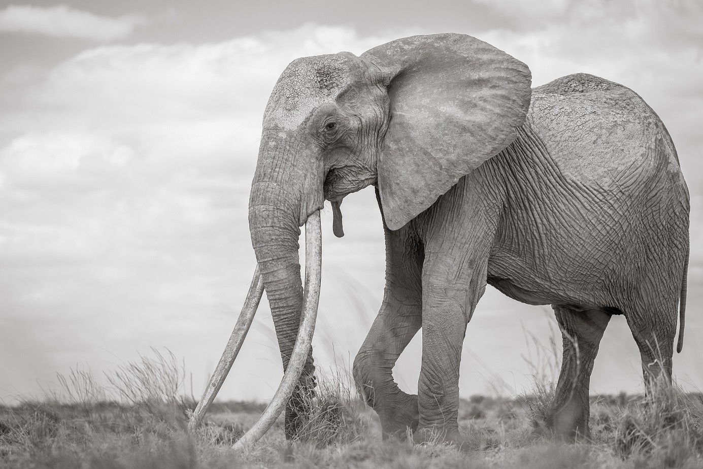This is a remarkable cow elephant with tusks that reach down to the ground. Experts believe that there is no other female elephant with tusks to rival these in all of Africa. To find her we used a light aircraft to search an area twice the size of Wales. Once we spotted her from the air, I moved in on the ground to photograph her. When I saw her for the first time I simply could not believe my eyes! I took this image handheld with a 70-200mm lens. I crouched down in order to photograph her against the sky. She seemed to be a gentle old soul and regarded me with mild curiosity as I photographed her. I felt very privileged to have this moment of connection with her. I took this photograph in August 2017. At the time, Tsavo was in the midst of a severe drought. From this image it is possible to see how skinny she is. Six weeks after I photographed her, she sadly died of old age (her death was almost certainly accelerated by the drought). She would have been more than 60 years old. She was the last of her kind, a relic from a bygone era, but she successfully passed on her genes and with concerted conservation efforts, an elephant like her may appear again in the future. African bush elephant (Loxodonta africana) Tsavo East National Park, Kenya